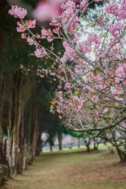 Alameda do Bosque das Cerejeiras - Fotografia SobDuasLentes para Viagem Kombinada