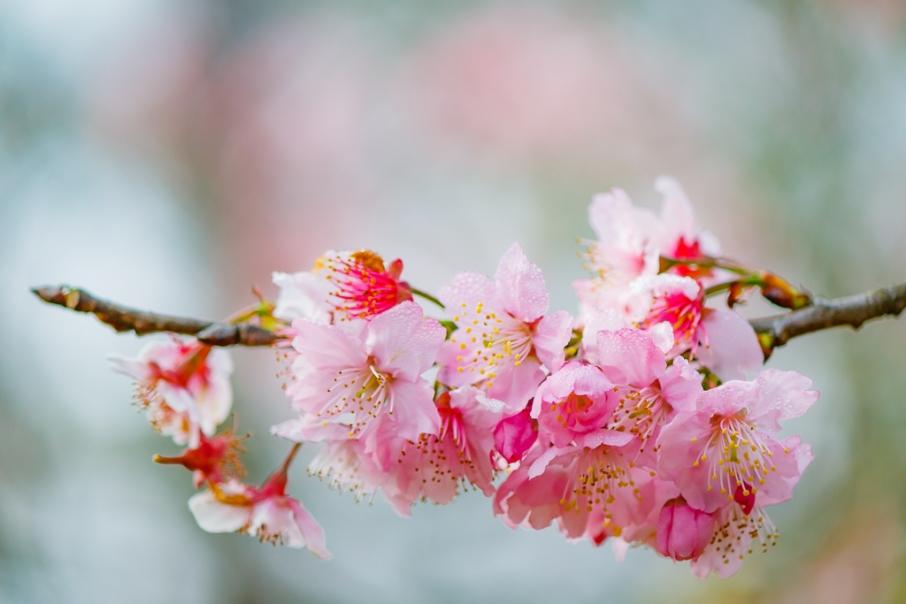 Ramo de Sakura - Flores de Cerejeira
