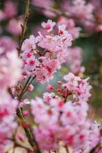 Flores de Cerejeira - Fotografia SobDuasLentes para Viagem Kombinada