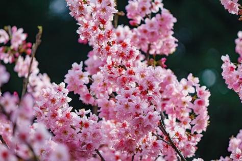 Flores de Cerejeira - Sakura